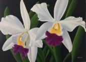 Cattlaya Orchid