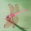 Pink Dragon Fly